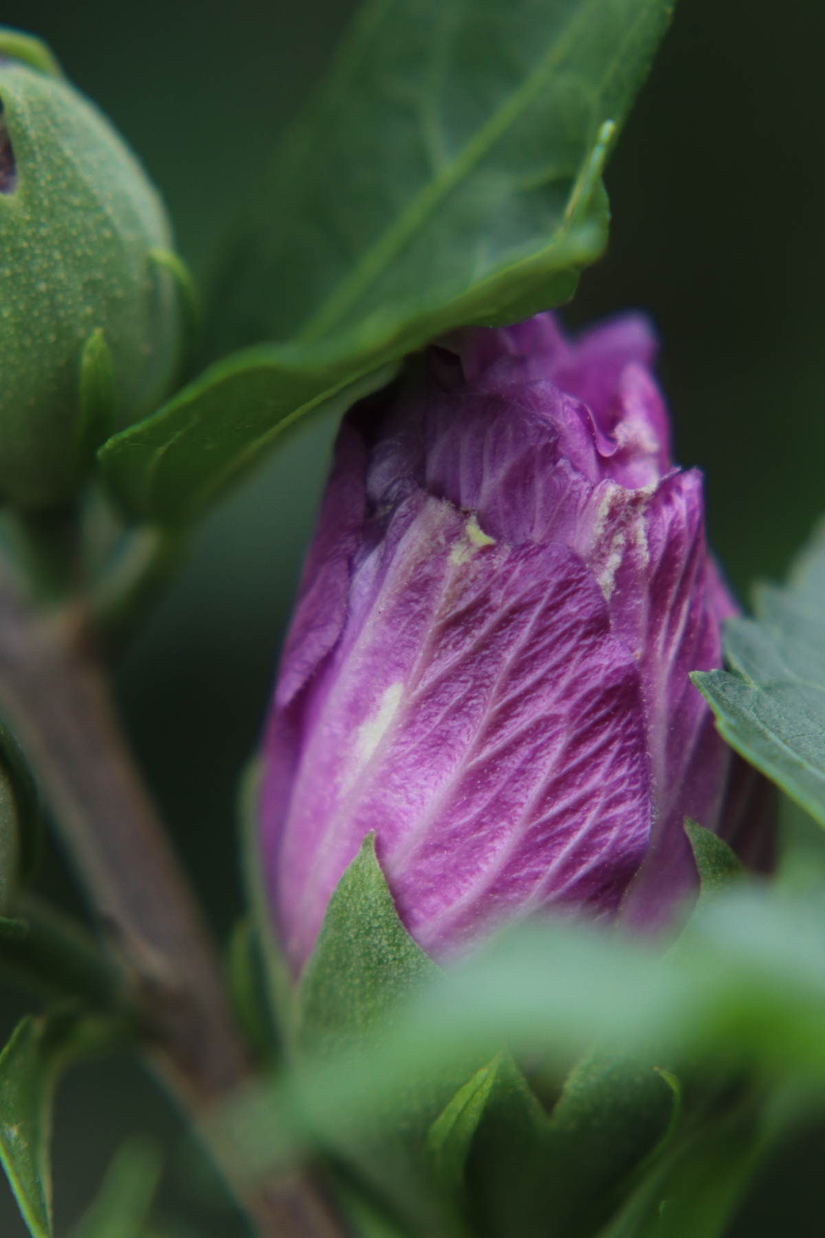 Purple Rose of Sharon Bud