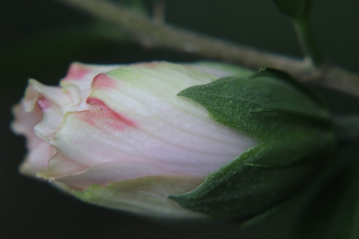 Pale Pink Rose of Sharon Bud