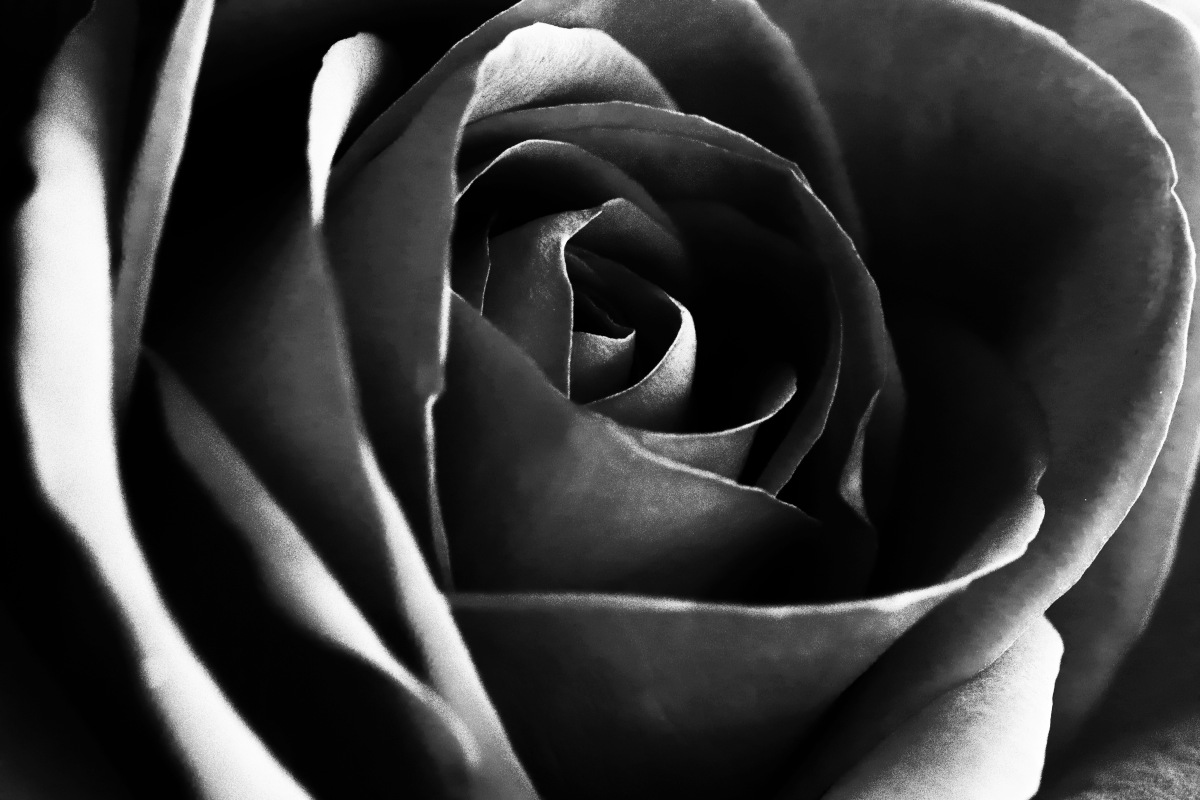 Black And White Rose