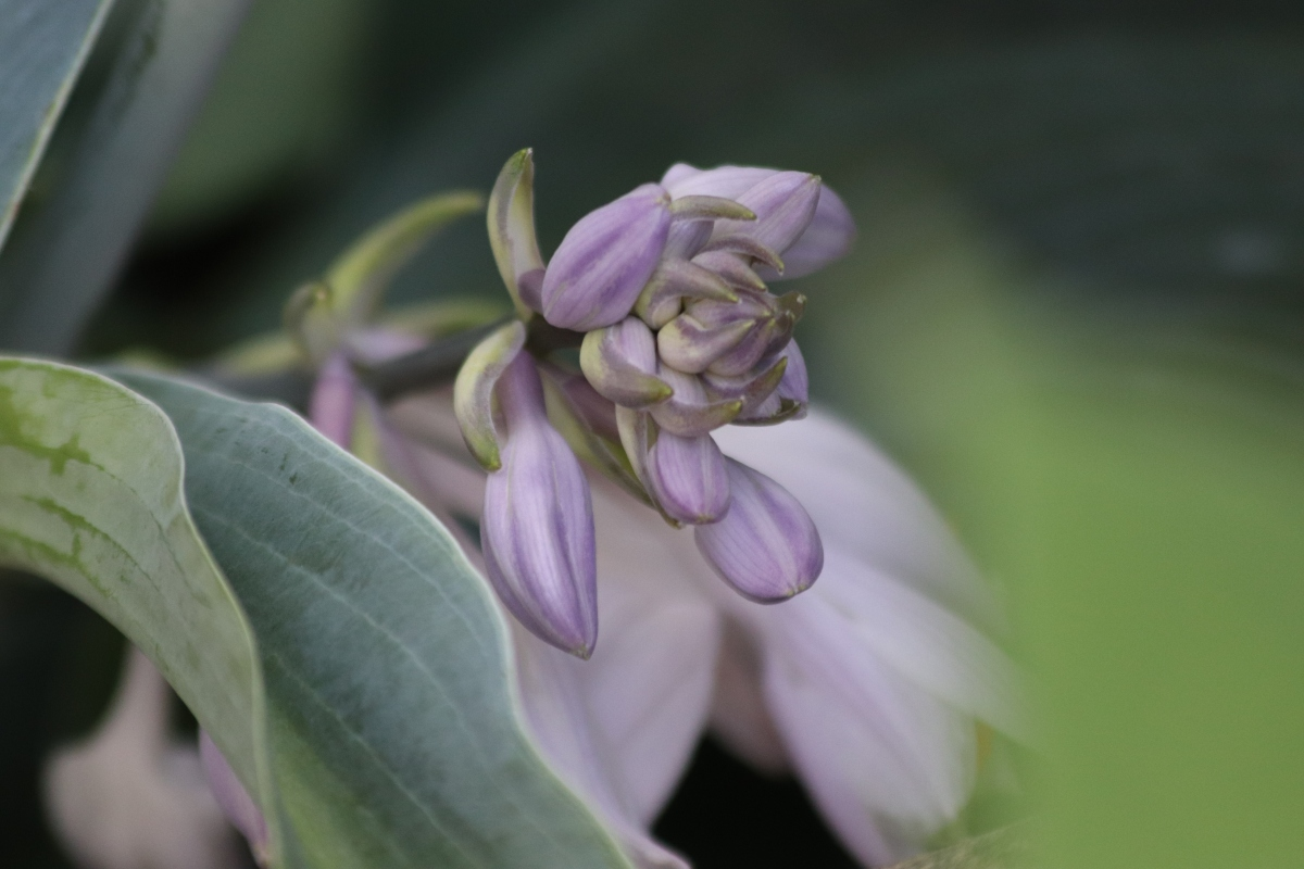 Budding Hosta