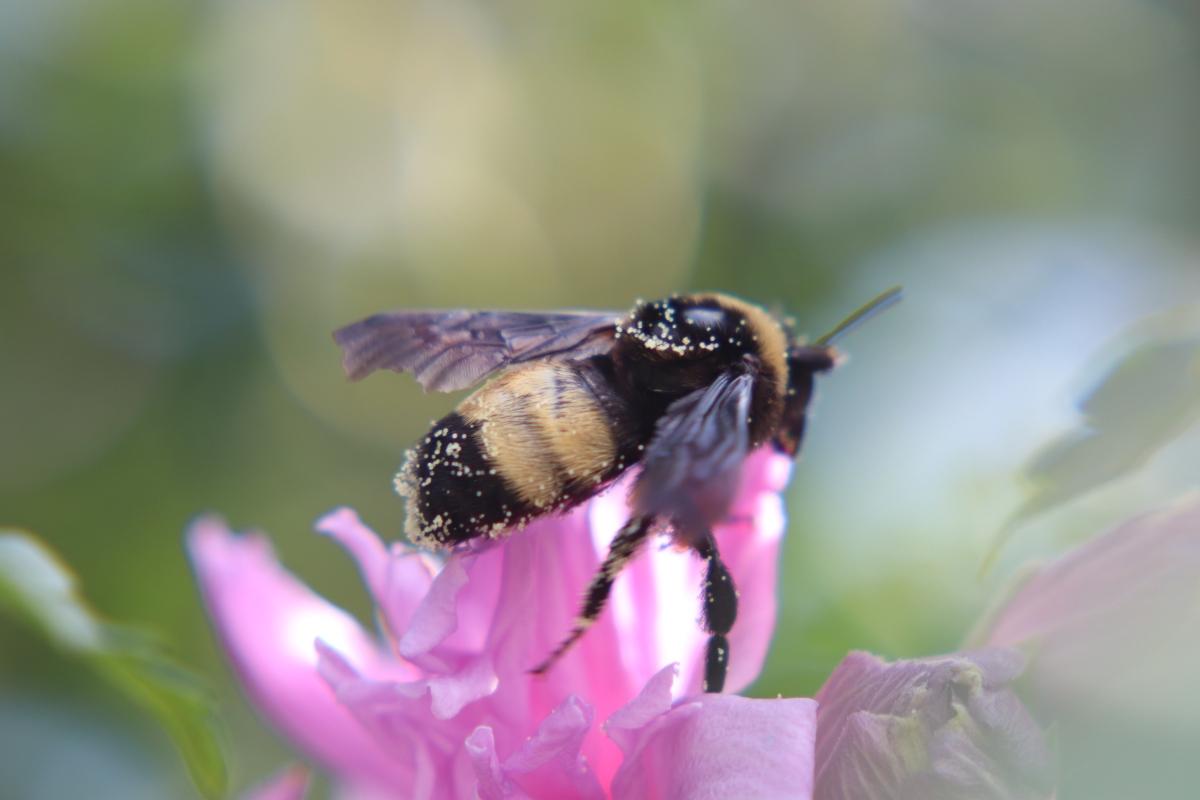 Pollen Dusted Bumblebee