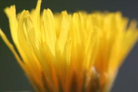 Yellow Dandelion(?) Flower