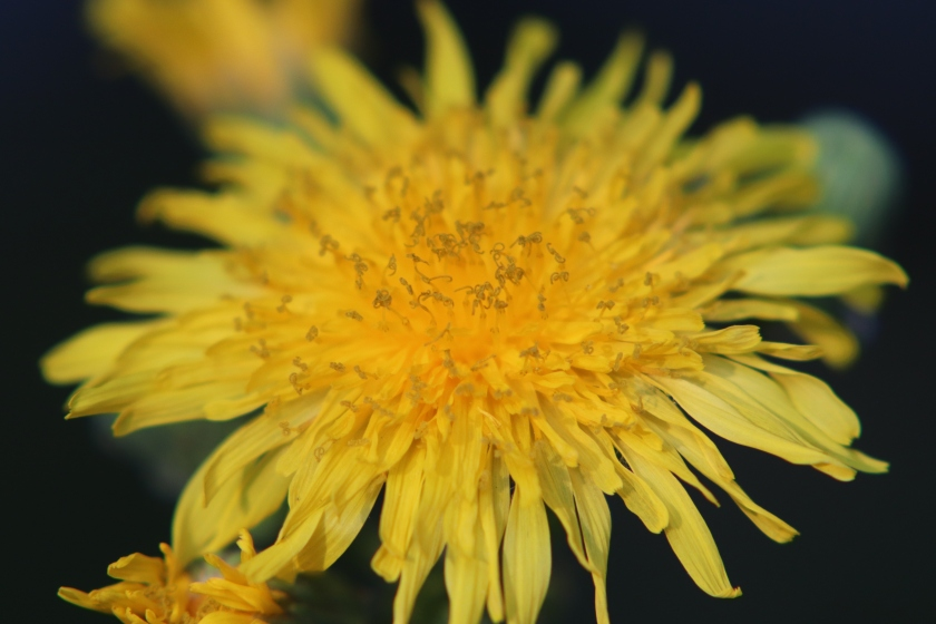 Yellow Dandelion(?) Flower