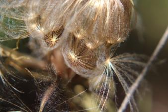 Golden Threads of Seeds