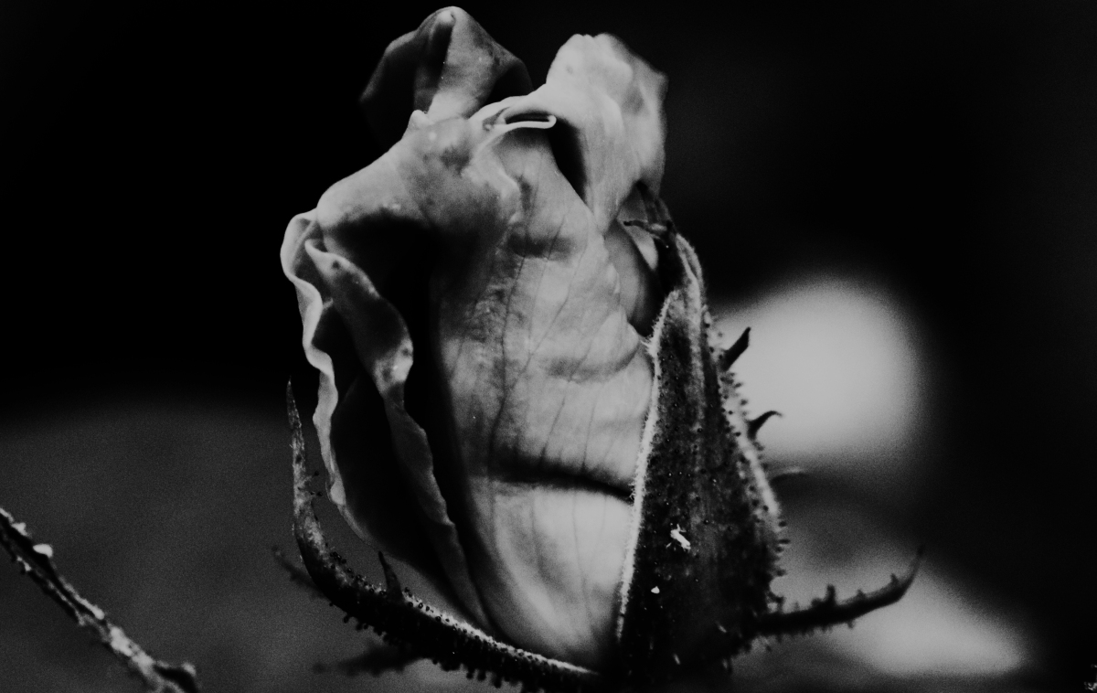 Black And White Rose Bud