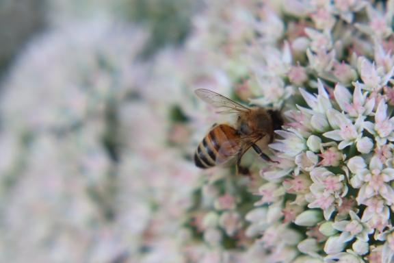Bee On Autumn Sedum