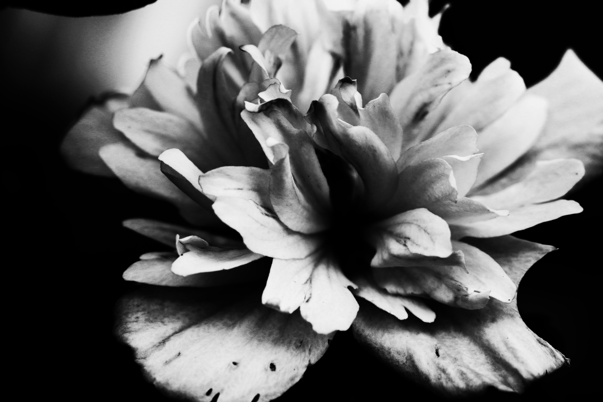 Black and White Rose of Sharon