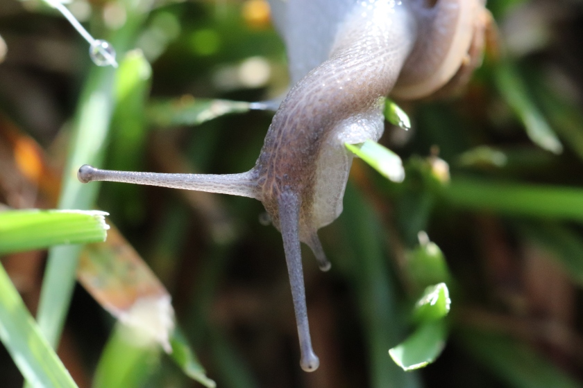 Snail In The Dewy Grass
