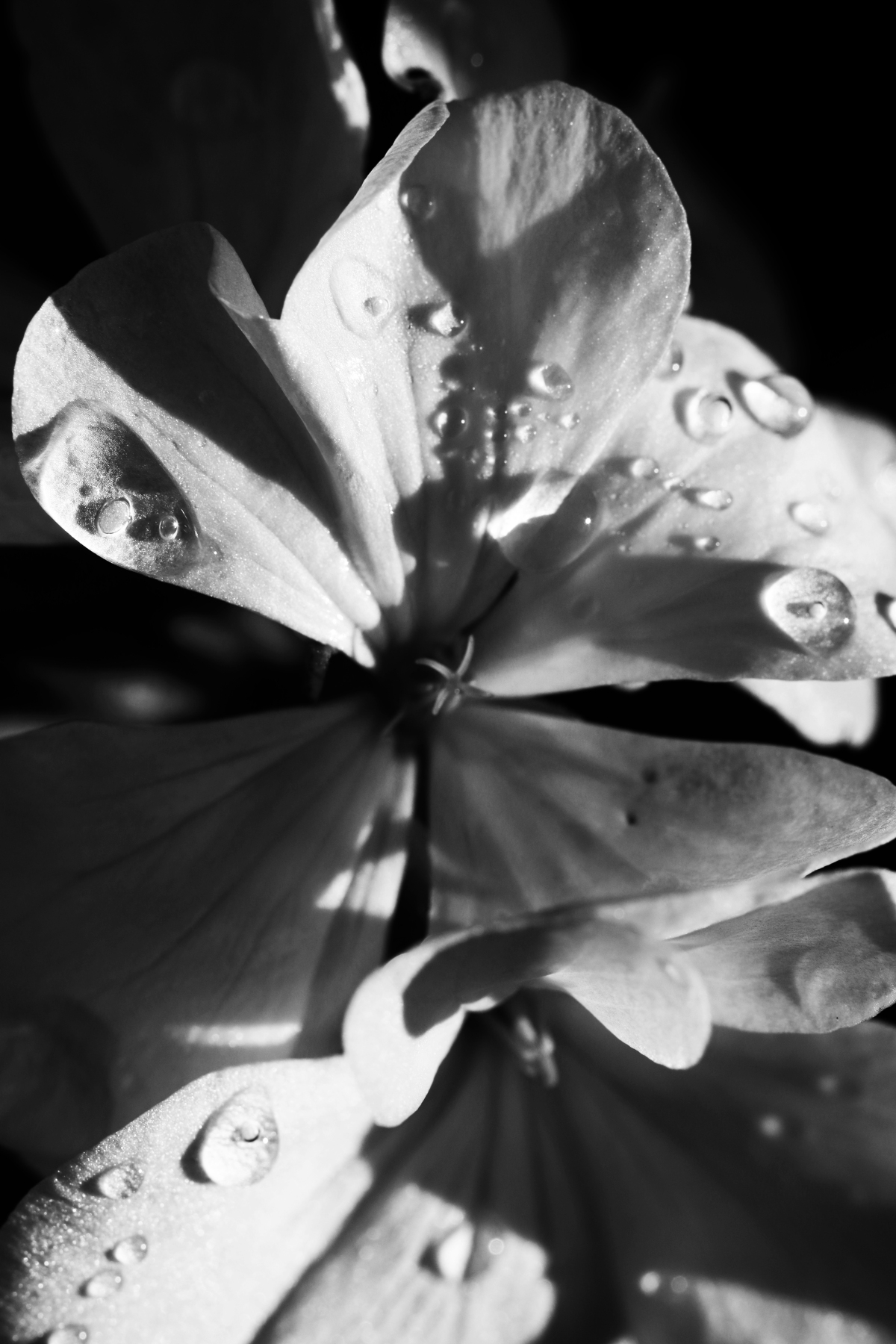 Black And White Geranium