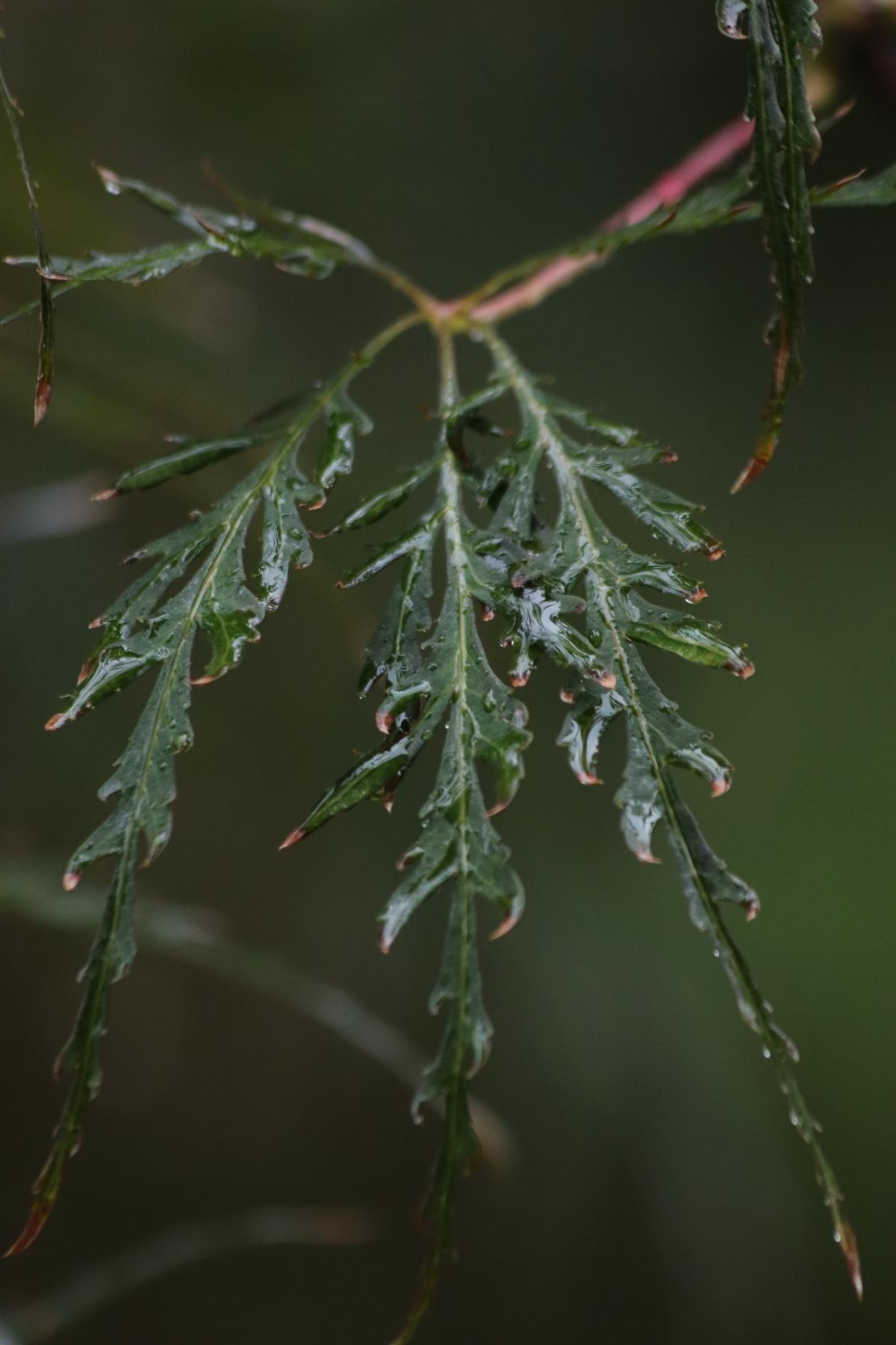 Rain Specked Japanese Maple Leaf