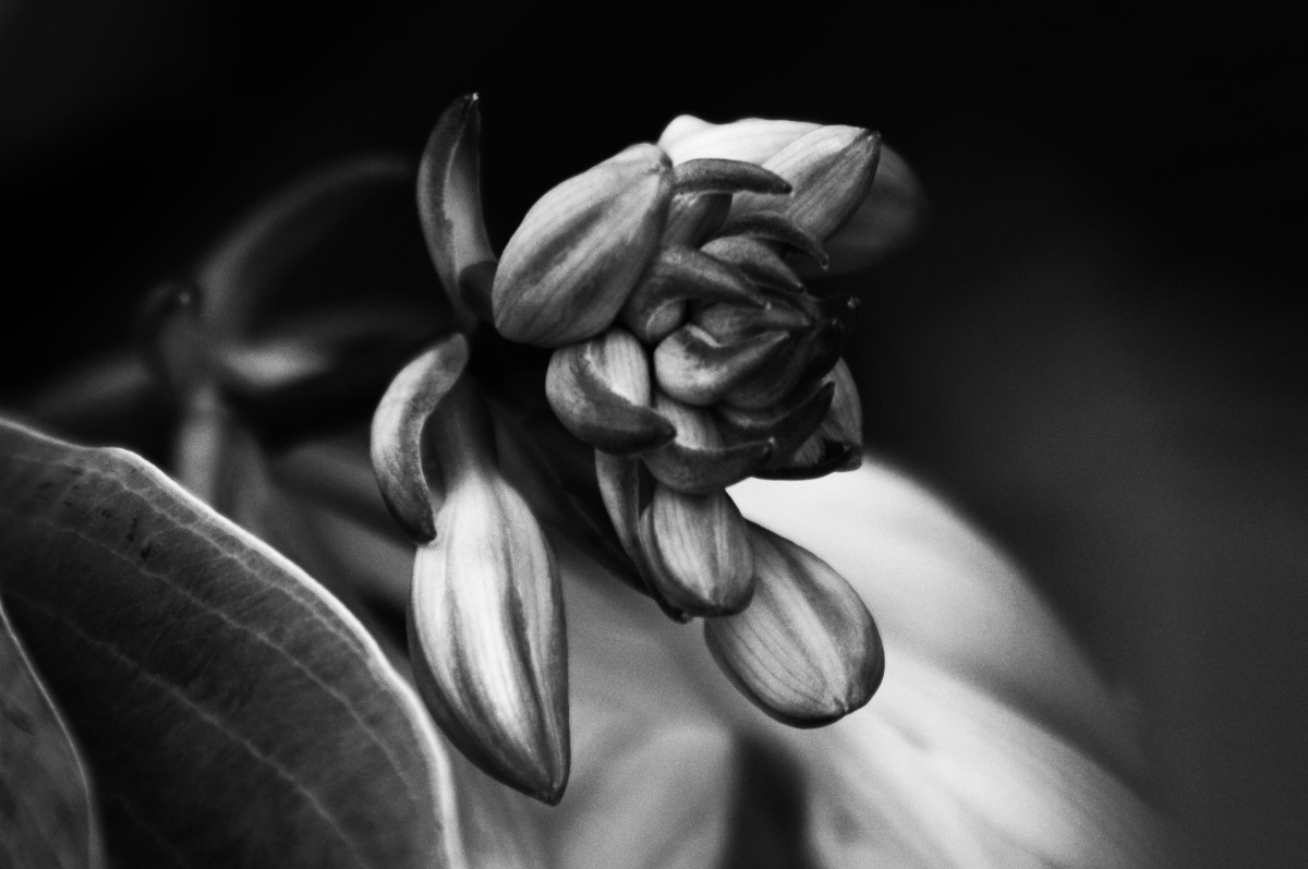 Black And White Hosta