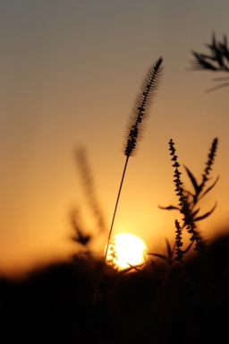 Sunset Through The Weeds