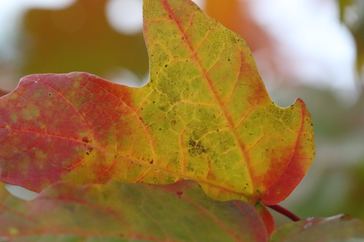 Color & Texture: Maple Leaf