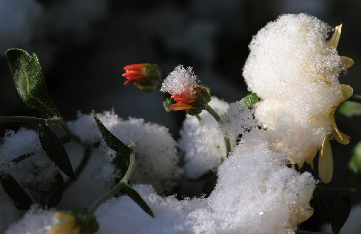 Snowy Yellow Mums