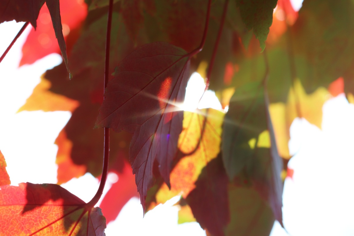 Sun Through The Leaves