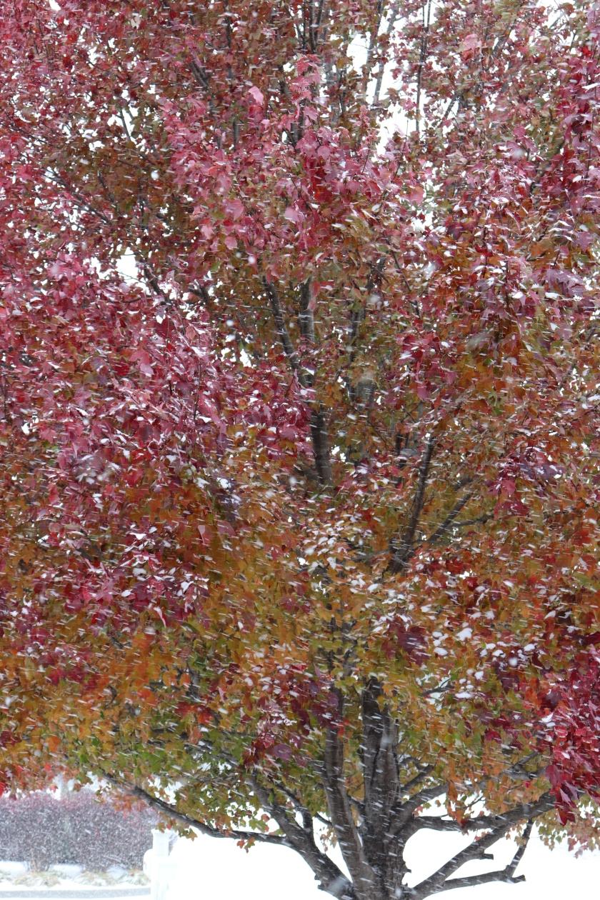 Snowy Fall Maple