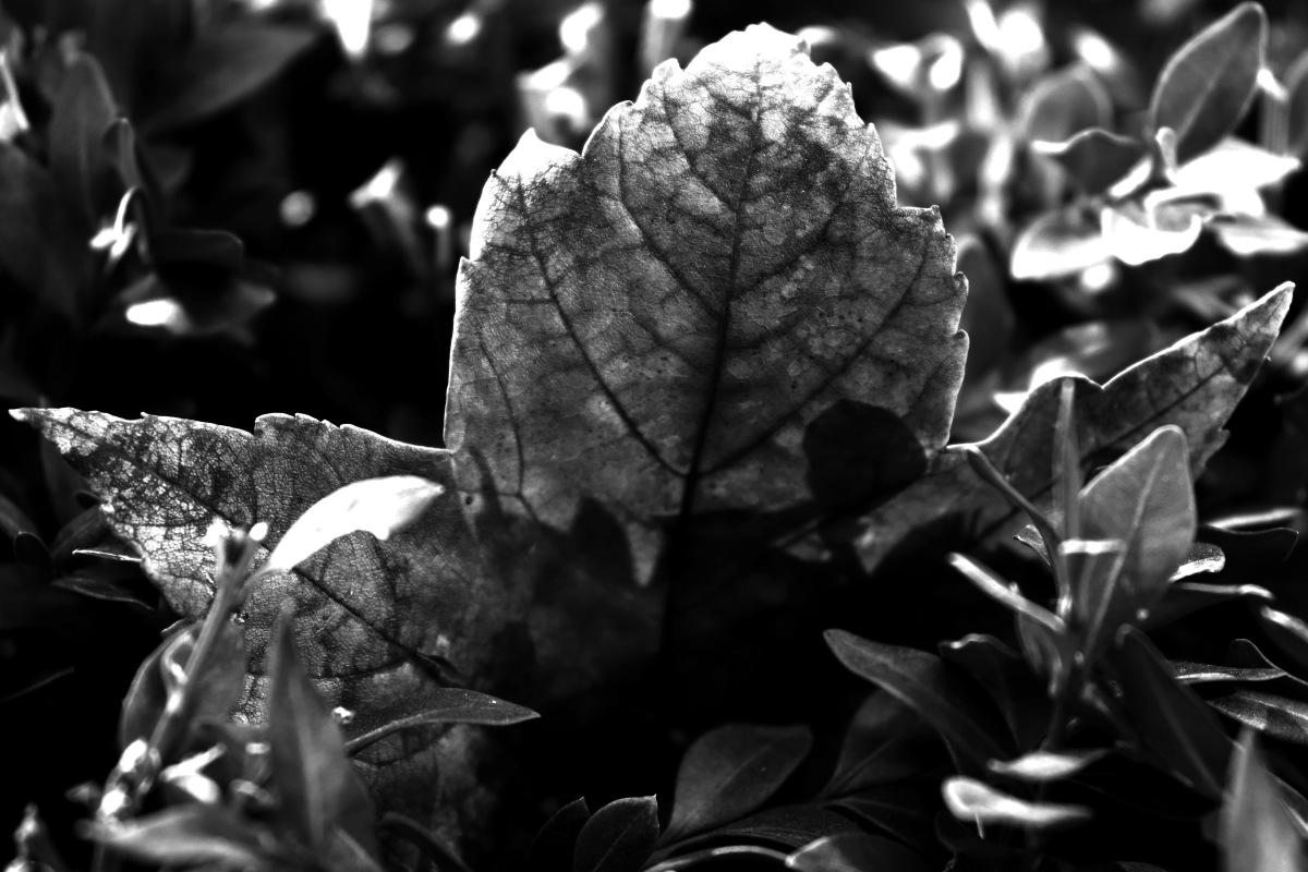 Black & White Maple Leaf