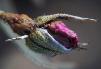 Dried Rose Bud