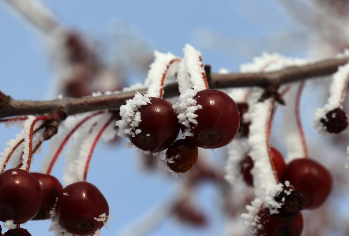 Fog Frosted Cherries