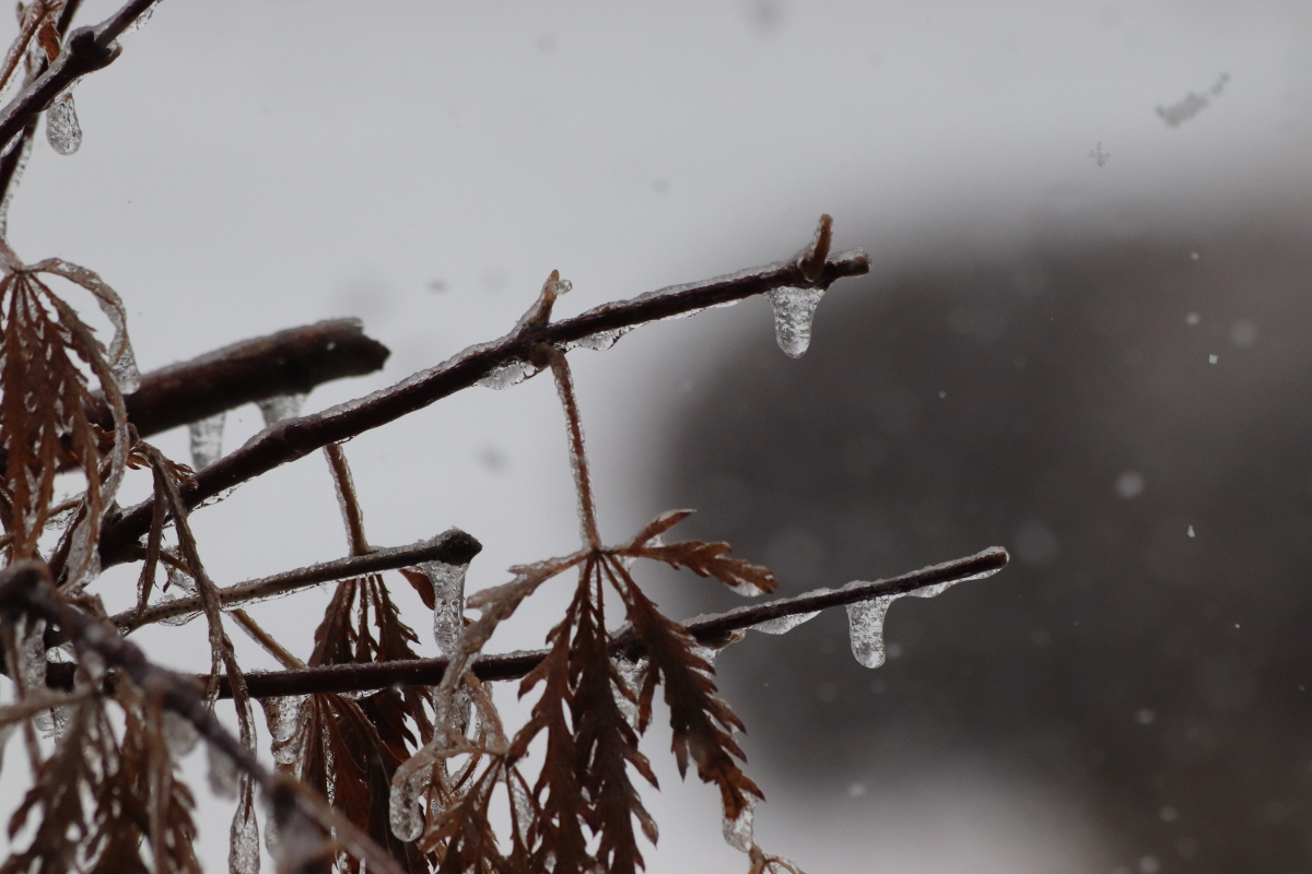 Ice Drops on Japanese Maple In The Snow