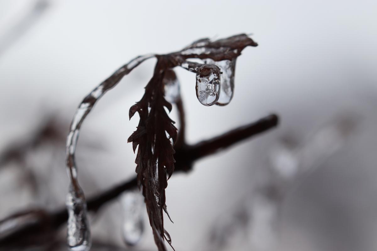 Frozen Japanese Maple