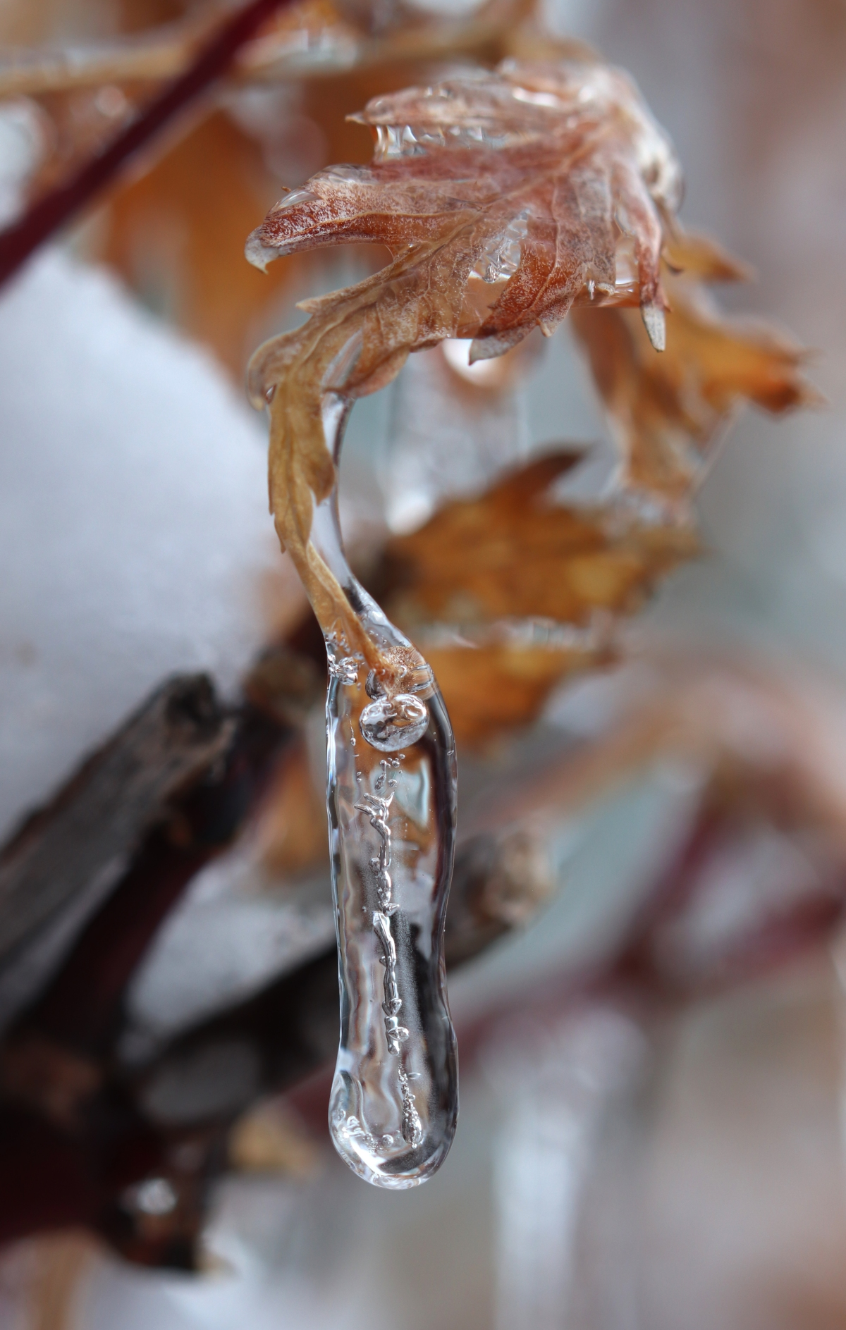 Frozen Drop on Japanese Maple Leaf