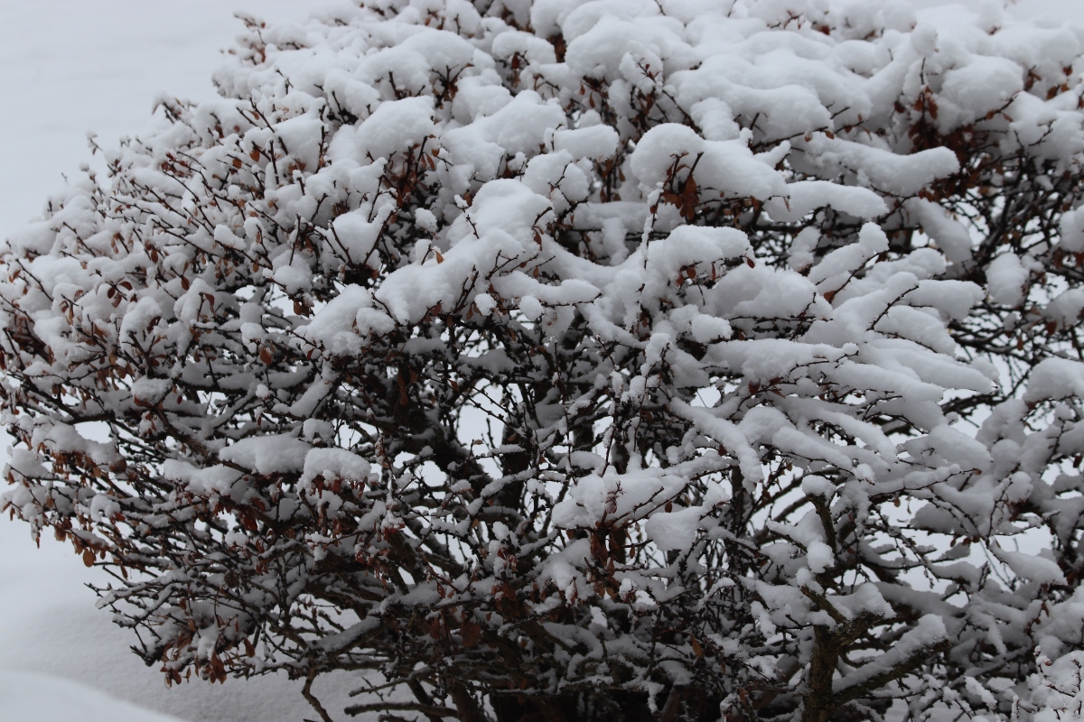 Snow Covered Barberry