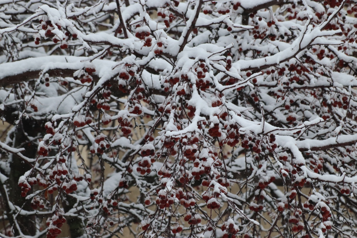 Snow Covered Cherry Tree