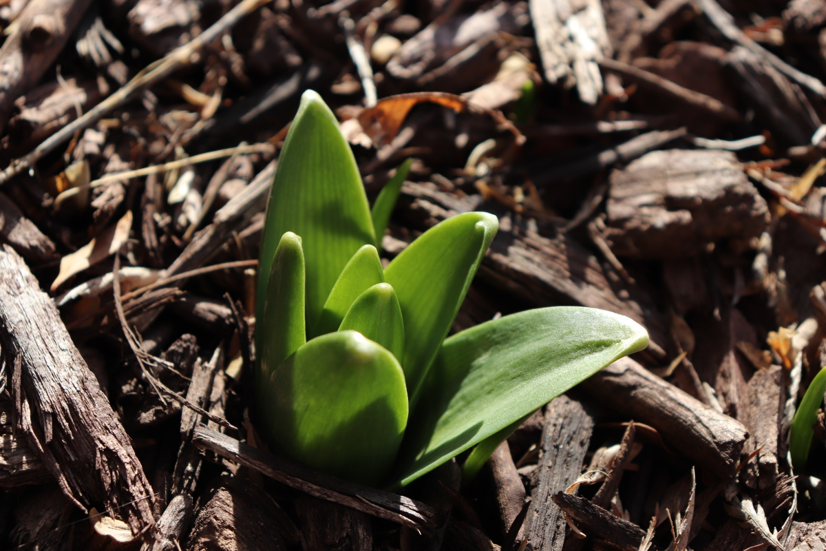 Baby Hyacinth Leaves