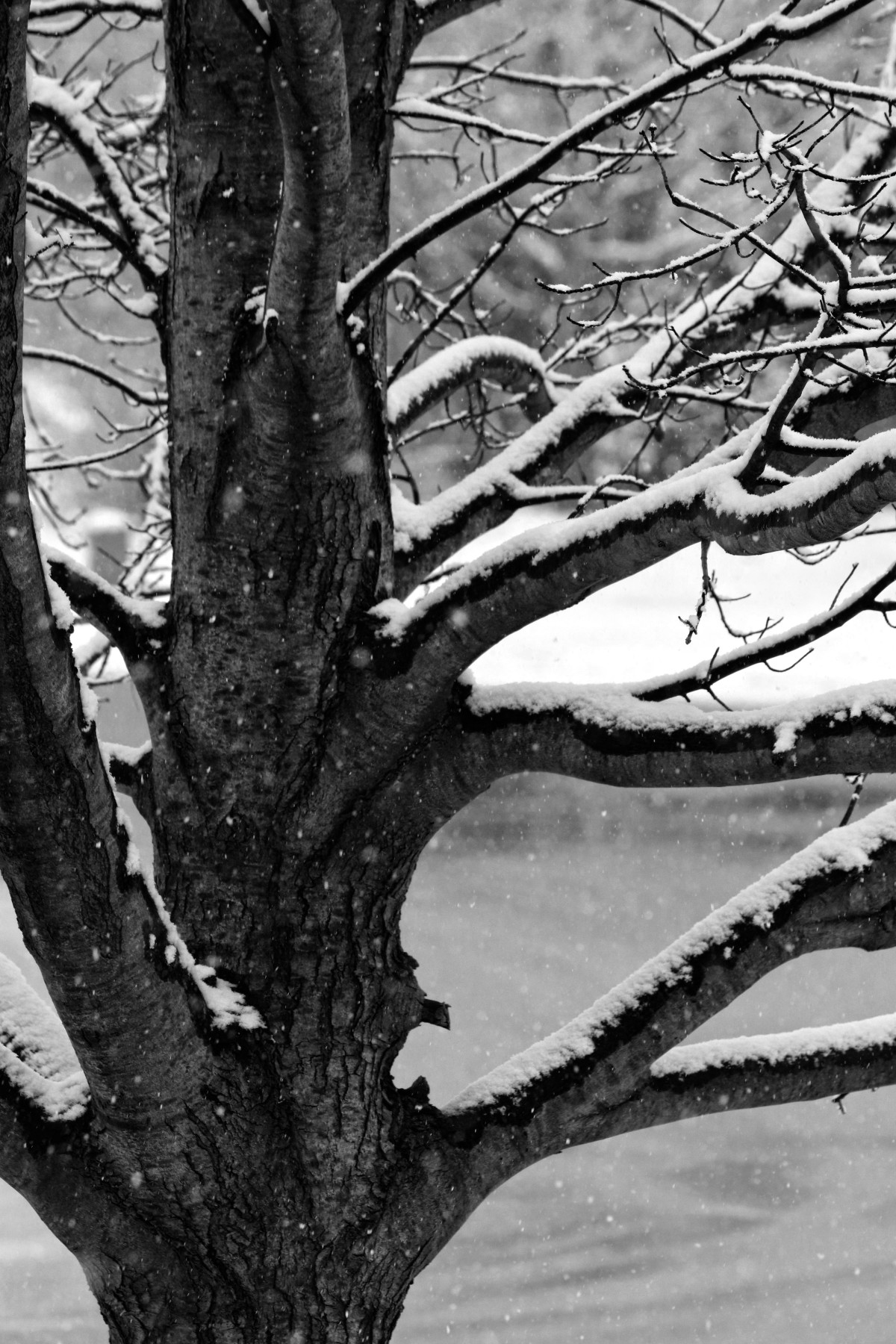 Revisiting: Snowy Tree In Black & White