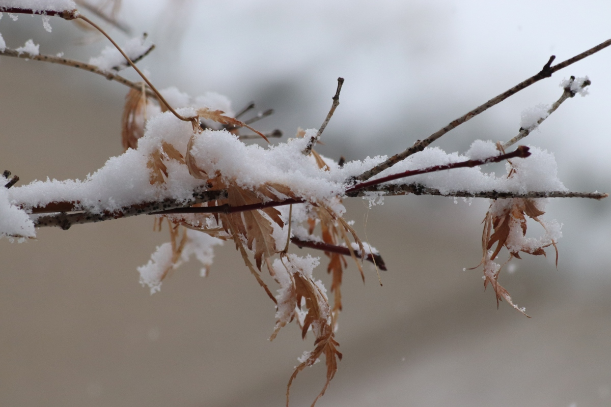 Snowy Japanese Maple Branch