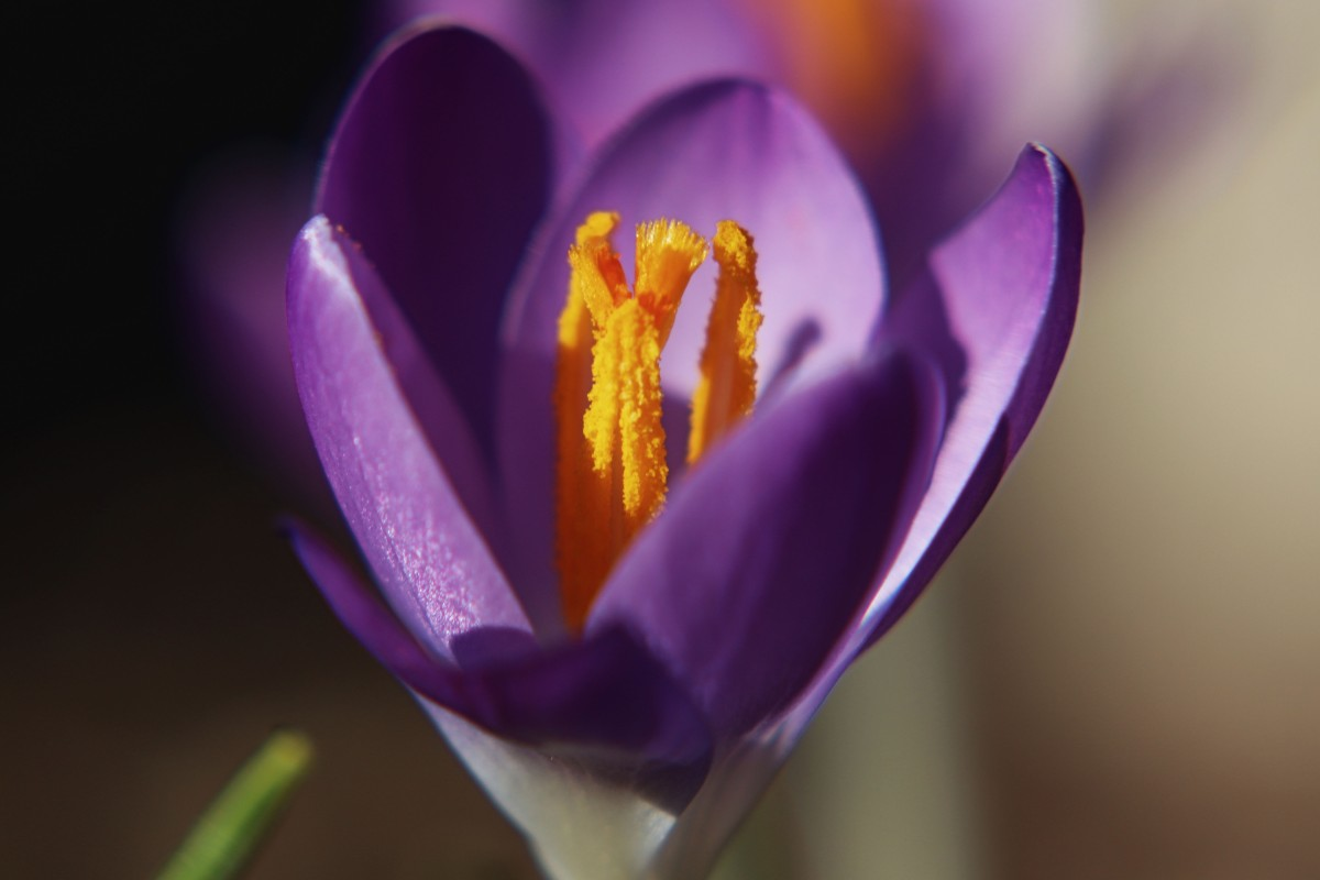 Purple Crocus Bloom