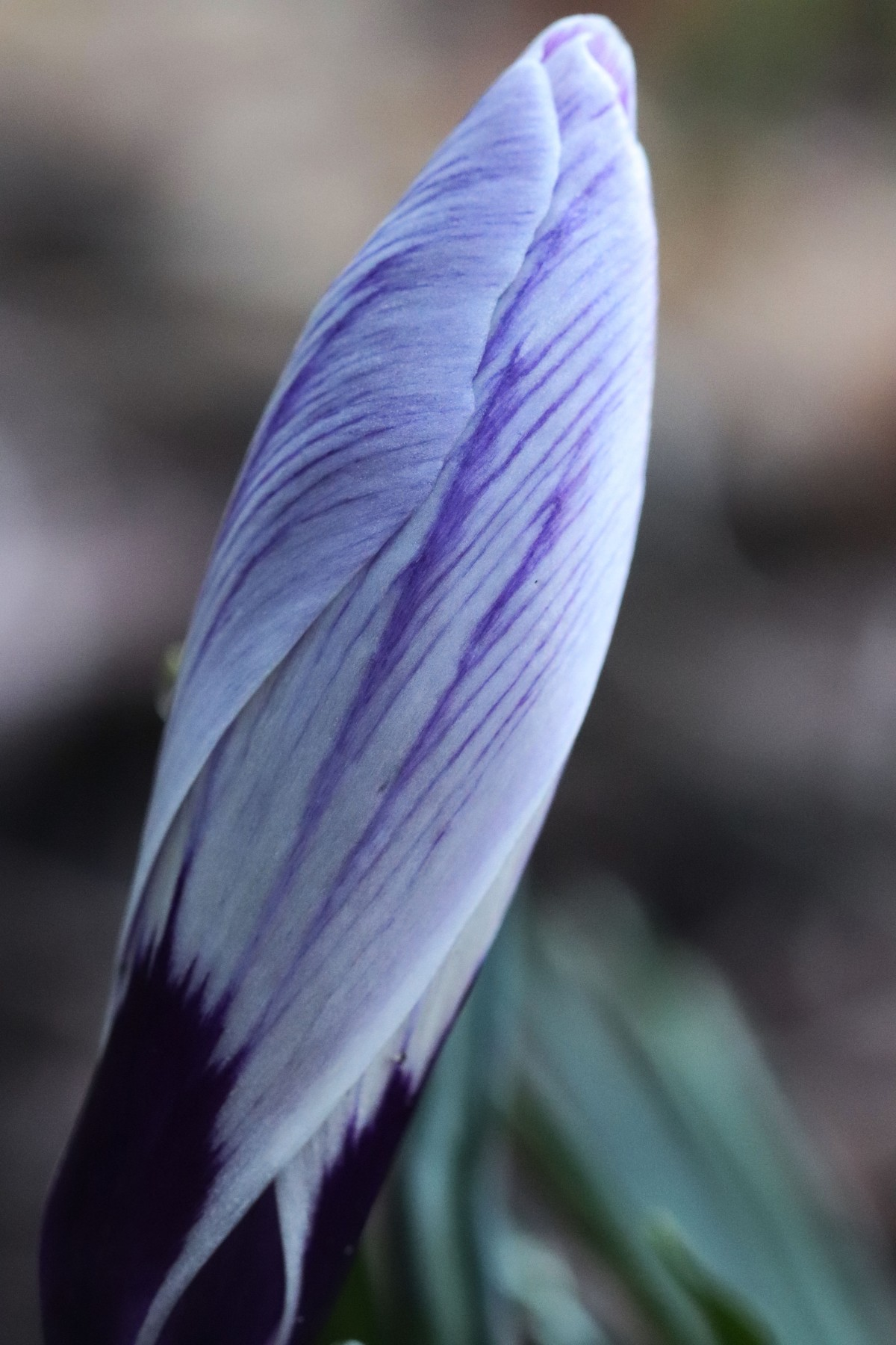 Purple Striped Crocus Bud