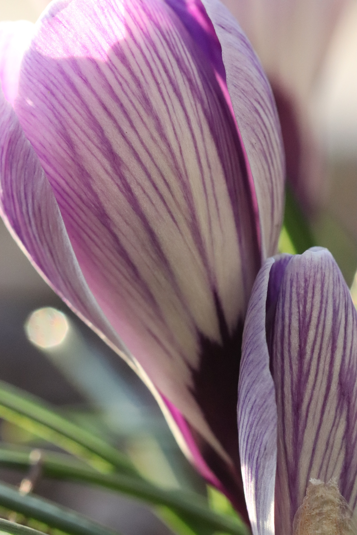 Striped Crocus