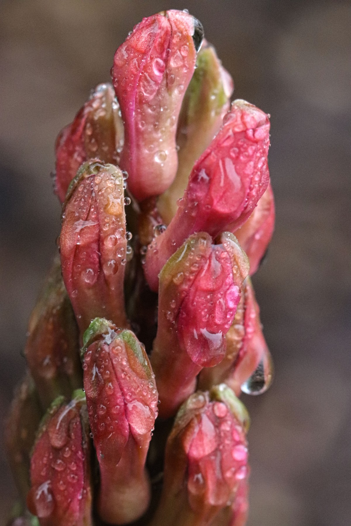 Rain Kissed Hyacinth Buds