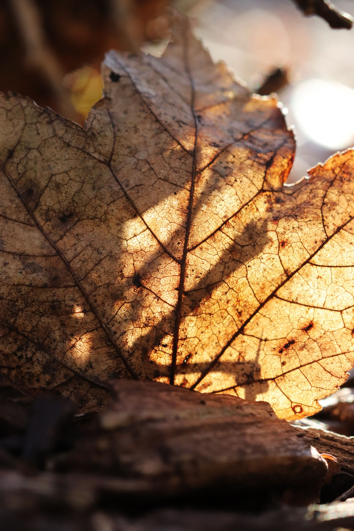 Leaf Veins In The Sun