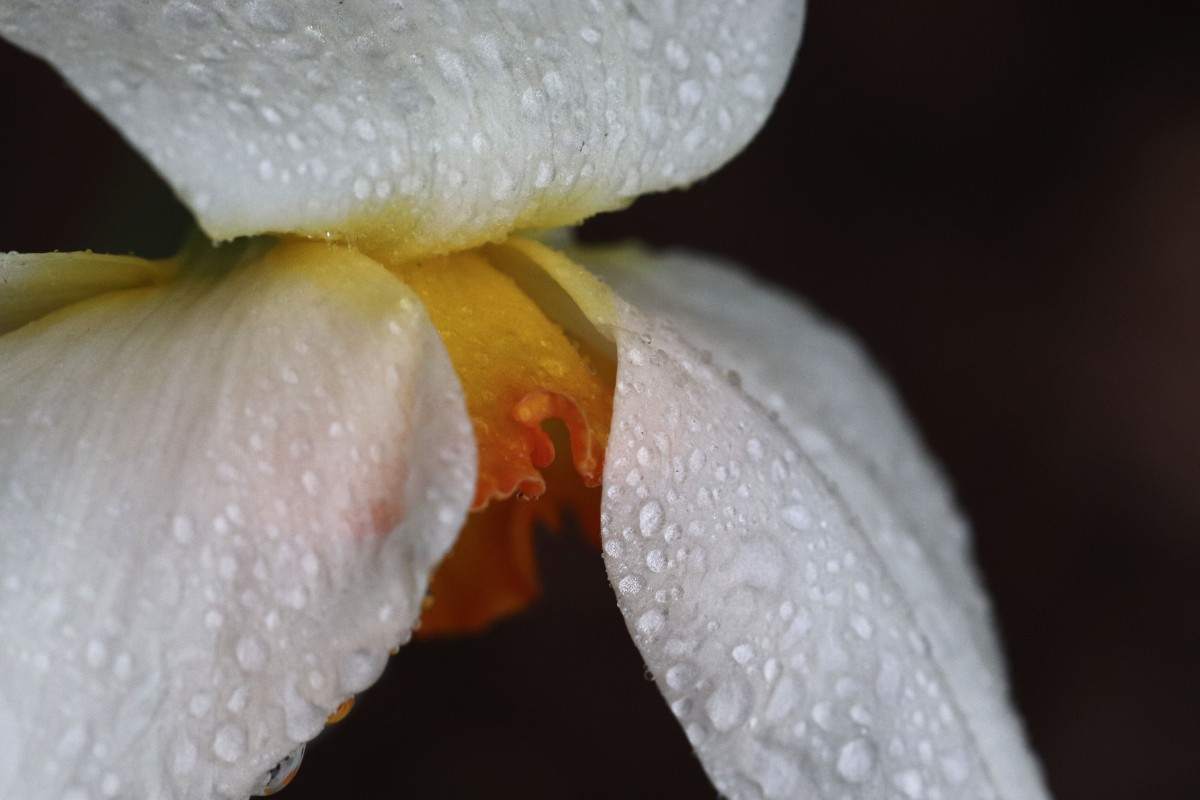 Rain Kissed Daffodil