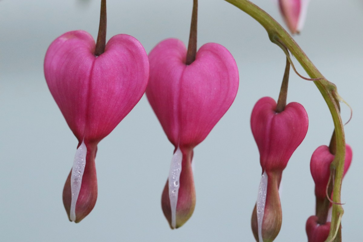 Row of Bleeding Hearts
