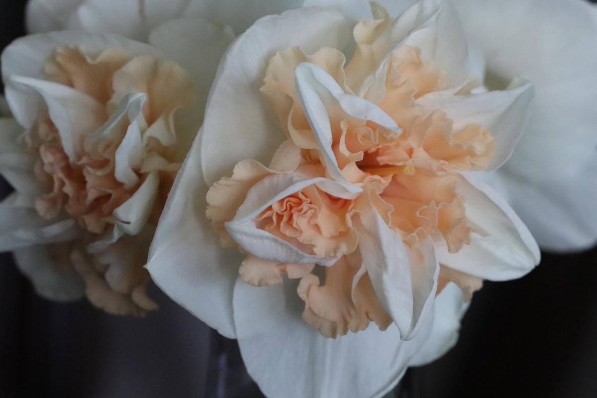 Cream and Peach Daffodils