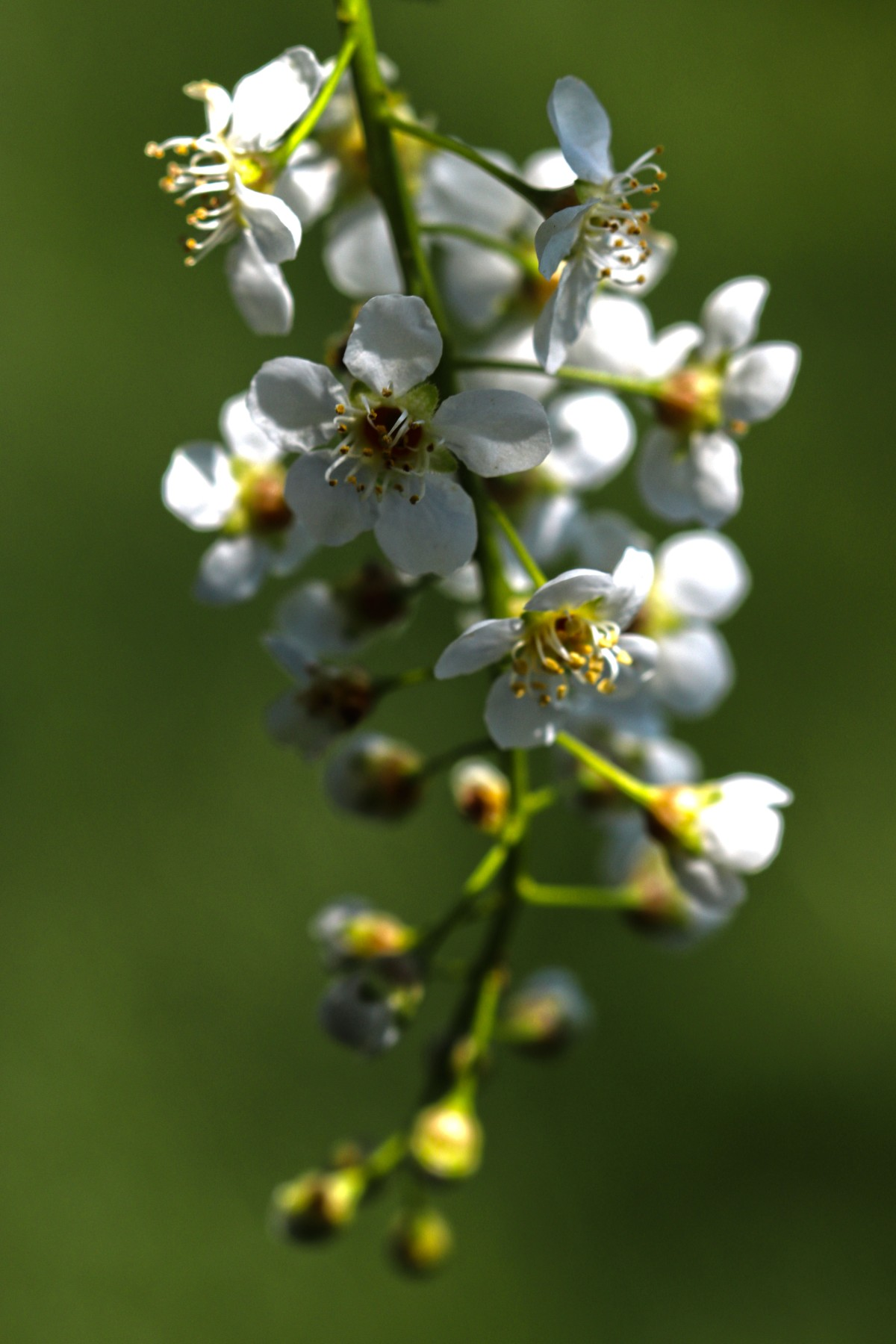 Chokecherry Blooms