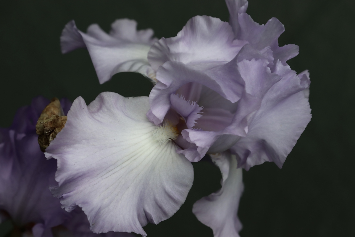 Pale Purple Iris