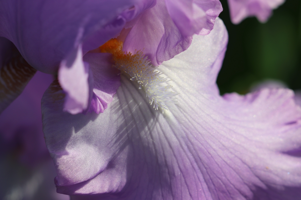 Beard On A Purple Iris