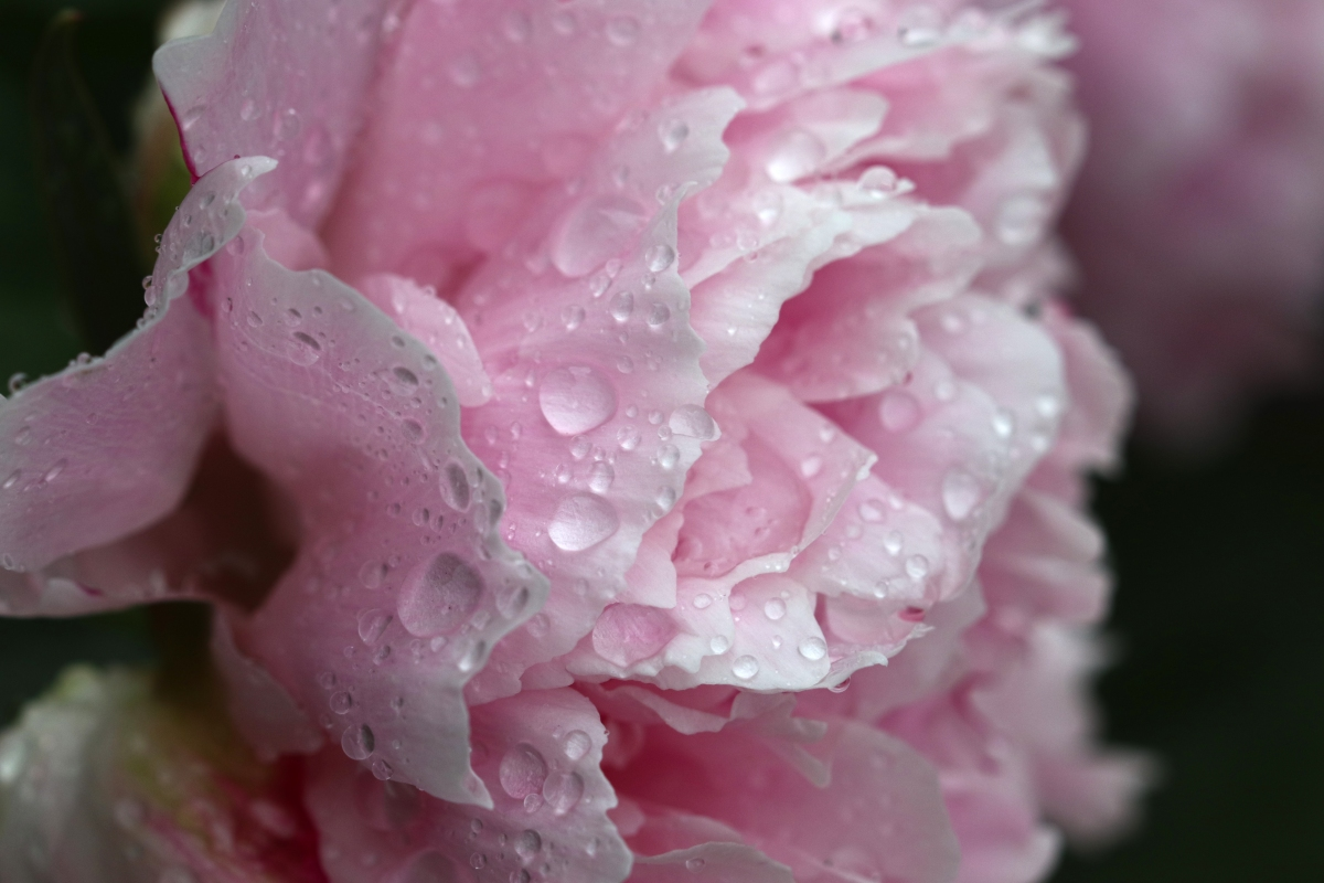 Pale Pink Peony Covered In Raindrops