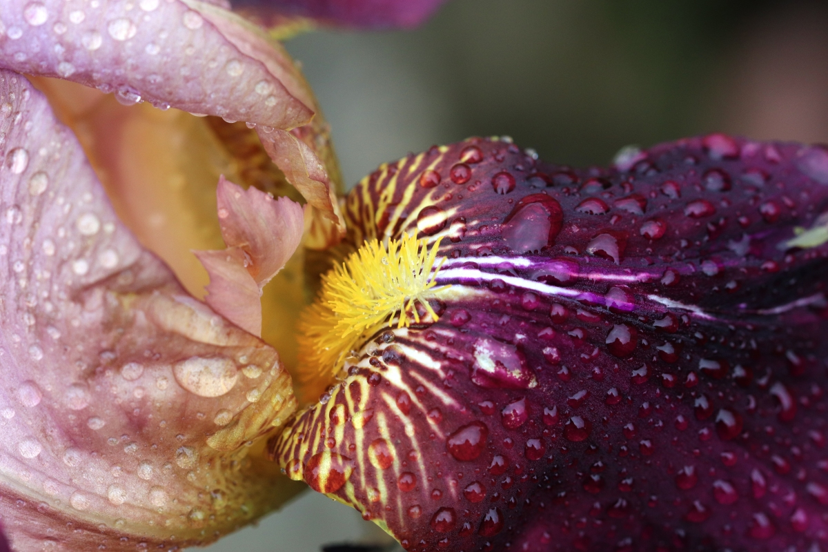 Mauve and Wine Iris In The Rain