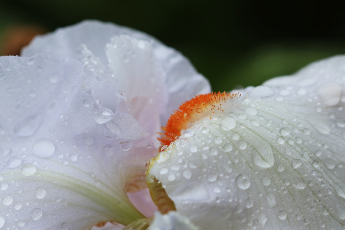 Rain Drenched White Iris