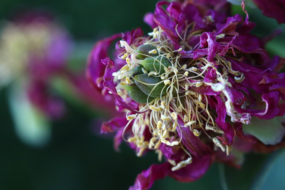 Magenta Peony Center With Shriveled Petals