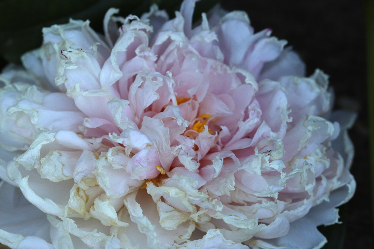 Pale Pink Peony With Curling Edges