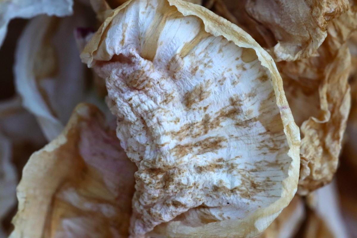 Curled & Drying Peony Petal