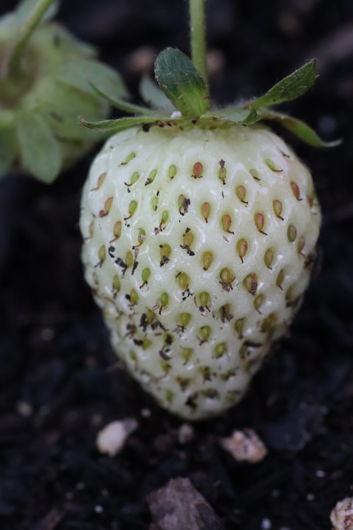 Not Yet Ripe Strawberry