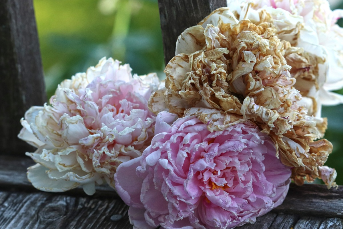Peony Cluster In Various Stages